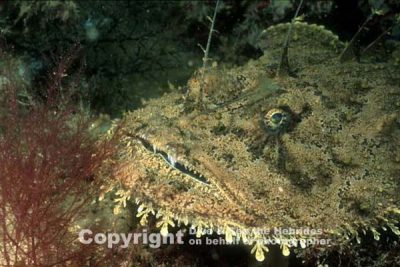 Magnificent Monkfish blending into the seabed at Dive & Sea the Hebrides